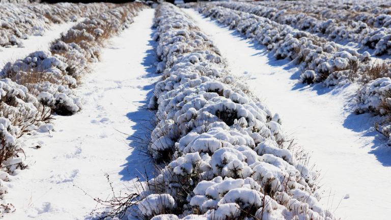 Culture de la lavande sous la neige