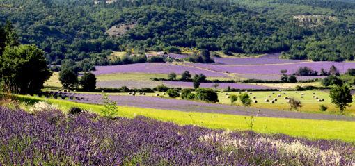 Lavande sur le plateau de Sault en Provence