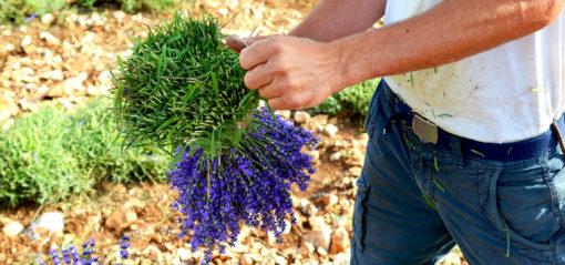 Lavande bleue en bouquets
