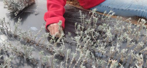 Bouturage du lavandin en nurserie à Sault en Provence