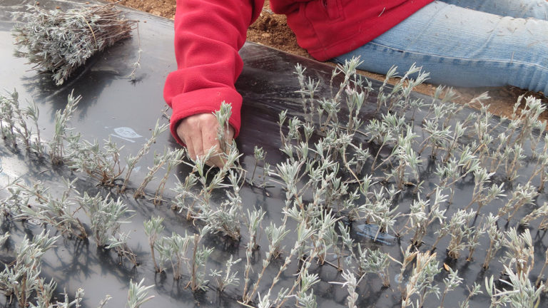 Bouturage du lavandin en hiver