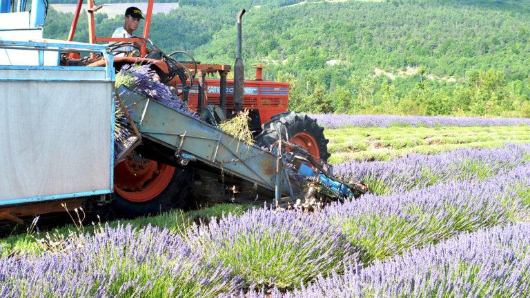 Lavandiculteur Sault en Provence