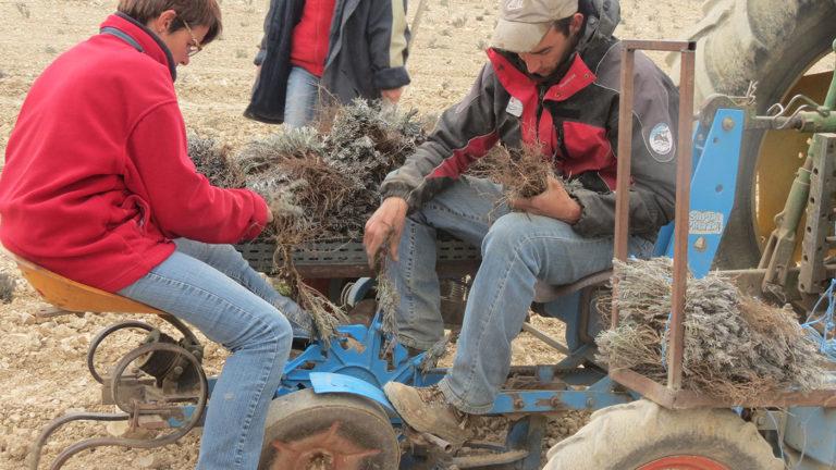 Plantation des boutures de lavande