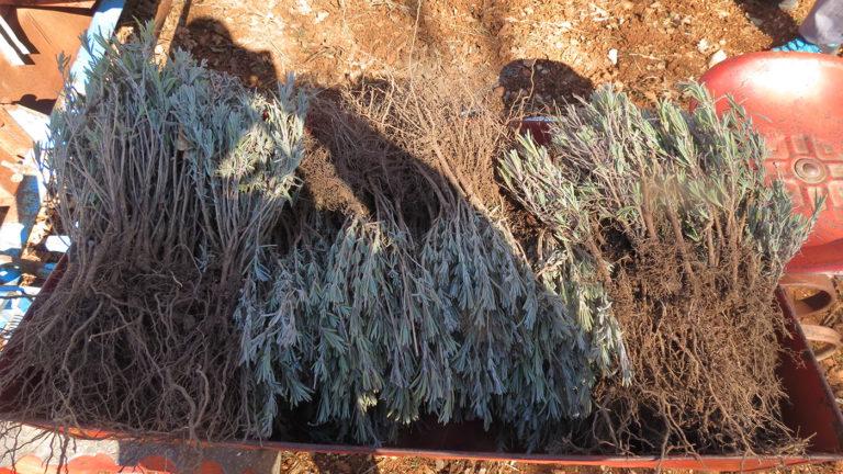 Plantation des boutures de lavandin