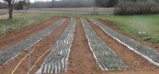 Nurserie de lavandin sur le plateau de Sault