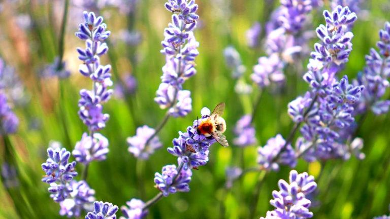 Les abeilles butinent le lavandin