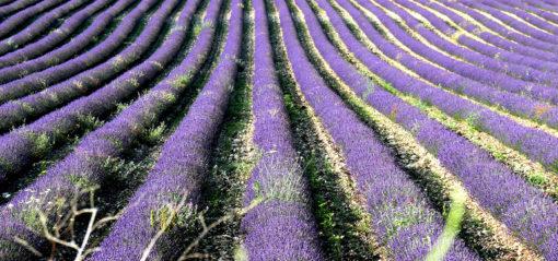 Champs de lavandin à Sault en Provence