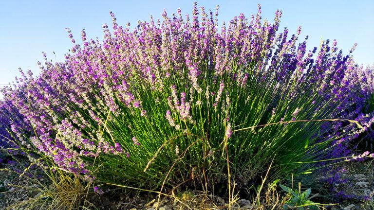 Pied de lavandin plateau de Sault en Provence