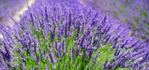 Floraison du lavandin Sault en Provence